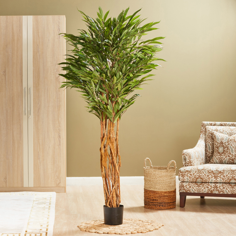 Crowny Style Weeping Ficus Tree
